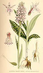 Orchis maculata L.